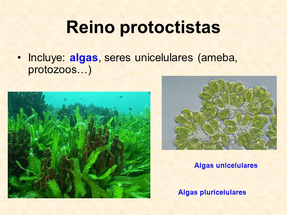 Reino protoctistasIncluye: algas, seres unicelulares (ameba, protozoos…) Algas unicelulares.