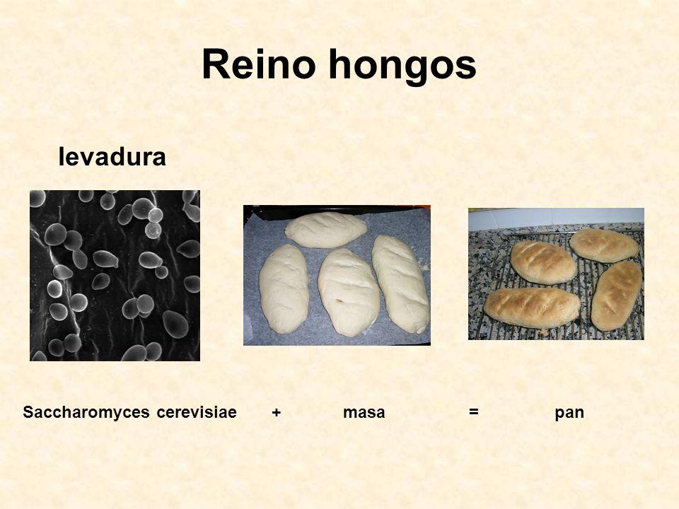 Reino hongos levadura Saccharomyces cerevisiae + masa = pan