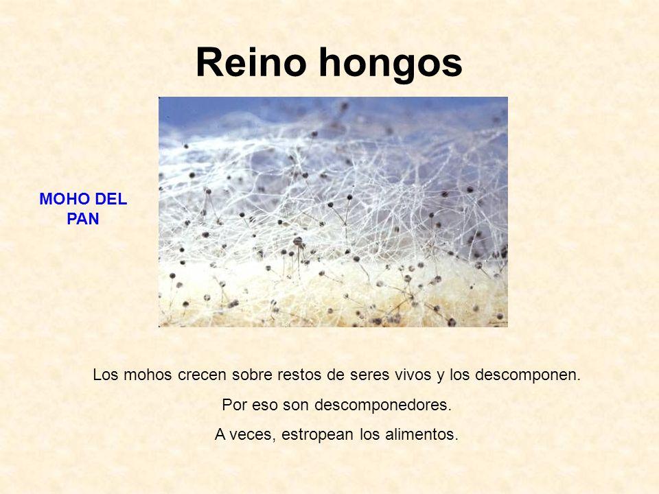 Reino hongos MOHO DEL PAN