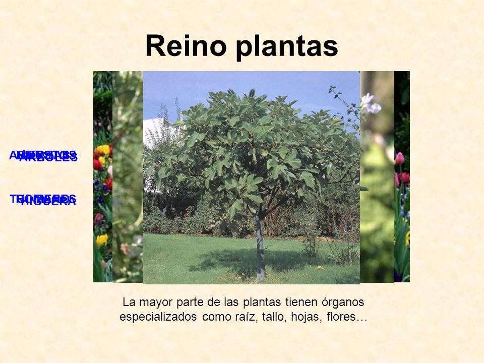 Reino plantas ARBUSTOS ROMERO HIERBAS TULIPANES ÁRBOLES HIGUERA