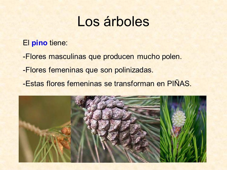 Los árboles El pino tiene: Flores masculinas que producen mucho polen.