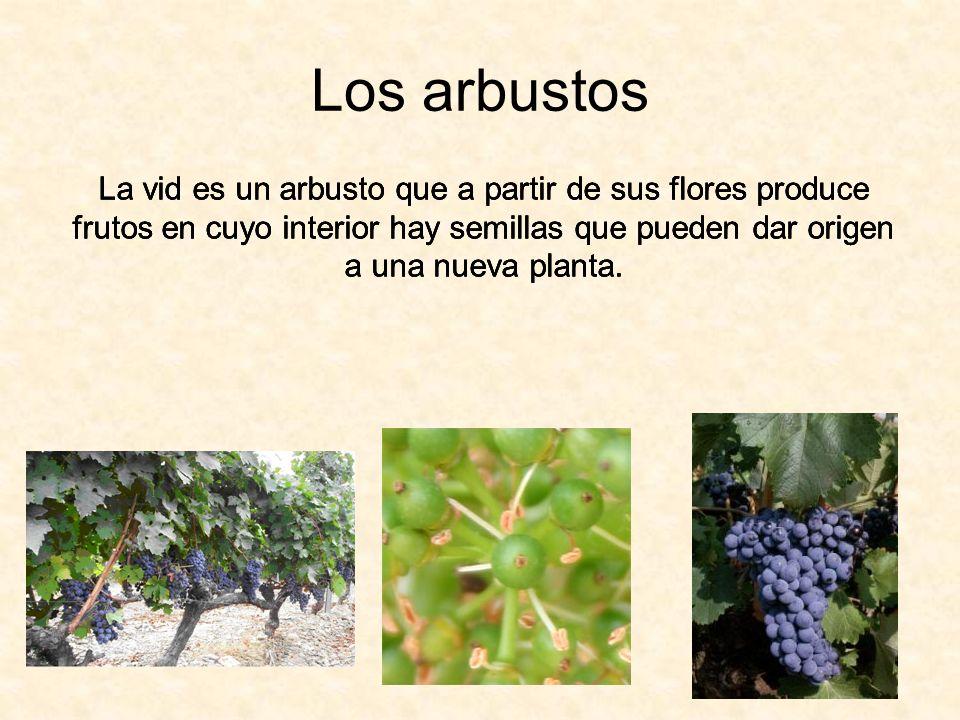 Los arbustosLa vid es un arbusto que a partir de sus flores produce frutos en cuyo interior hay semillas que pueden dar origen a una nueva planta.