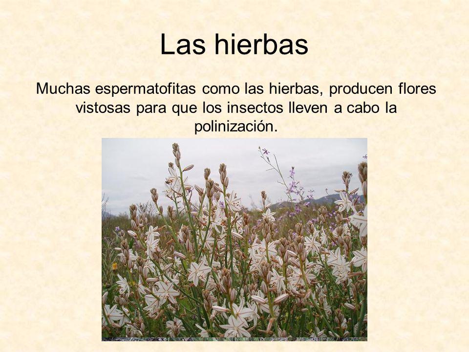 Las hierbasMuchas espermatofitas como las hierbas, producen flores vistosas para que los insectos lleven a cabo la polinización.