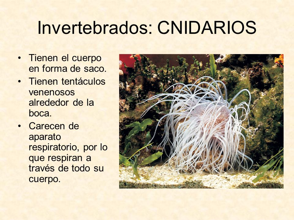 Invertebrados: CNIDARIOS