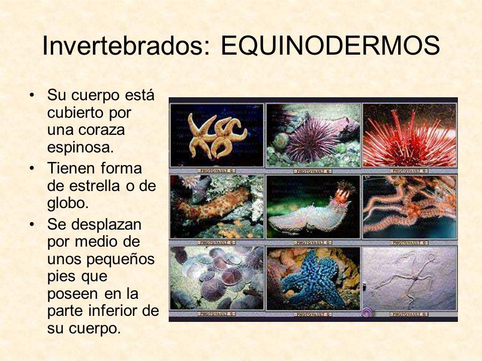 Invertebrados: EQUINODERMOS