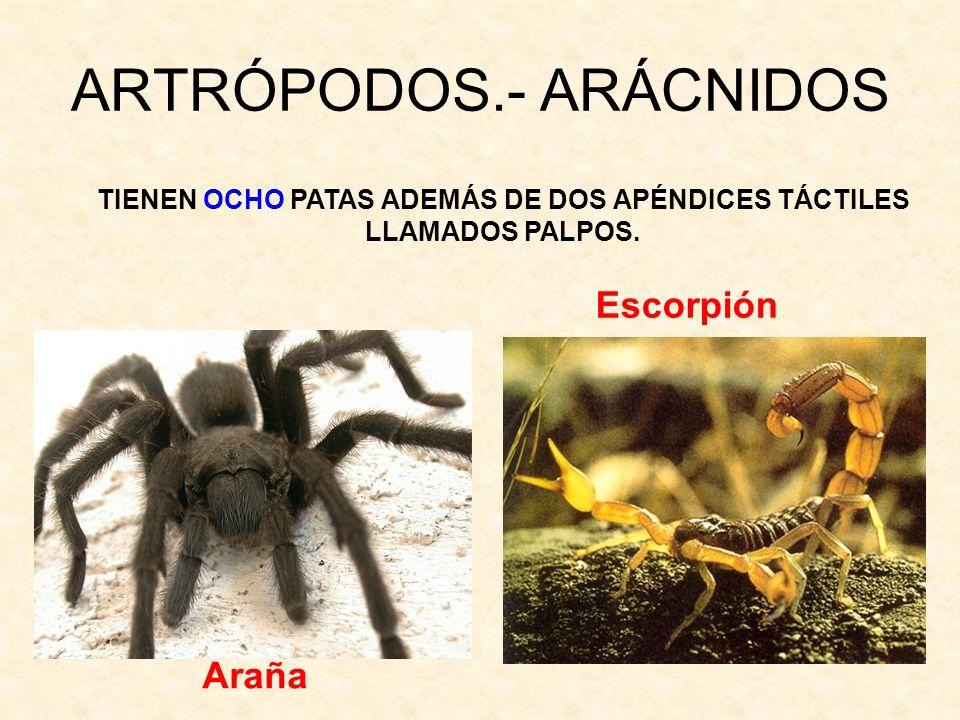 ARTRÓPODOS.- ARÁCNIDOS