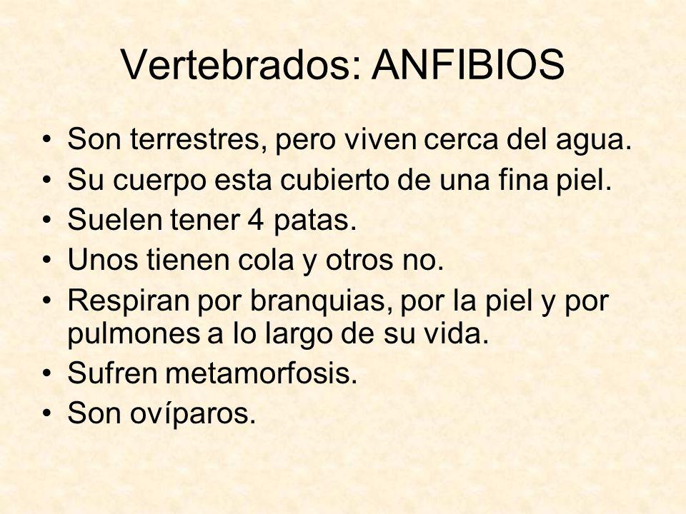 Vertebrados: ANFIBIOS