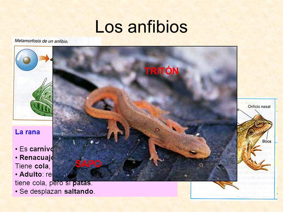 Los anfibios TRITÓN SAPO La rana Es carnívora.