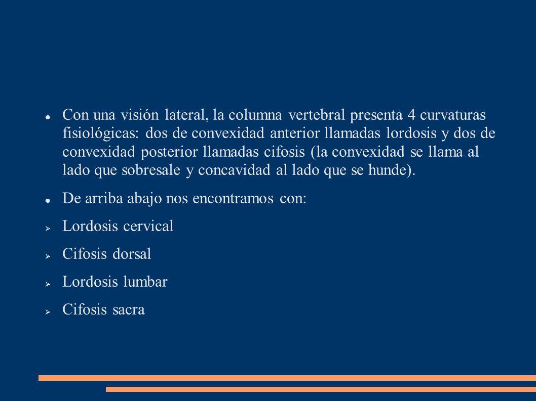 Con una visión lateral, la columna vertebral presenta 4 curvaturas fisiológicas: dos de convexidad anterior llamadas lordosis y dos de convexidad posterior llamadas cifosis (la convexidad se llama al lado que sobresale y concavidad al lado que se hunde).