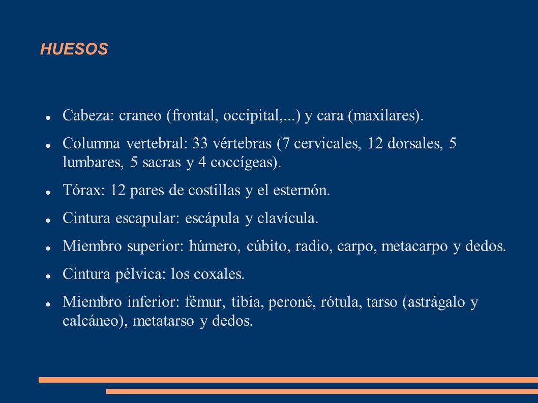 HUESOS Cabeza: craneo (frontal, occipital,...) y cara (maxilares).