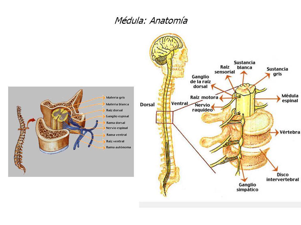 Excelente Anatomía Del Disco Intervertebral Molde - Imágenes de ...