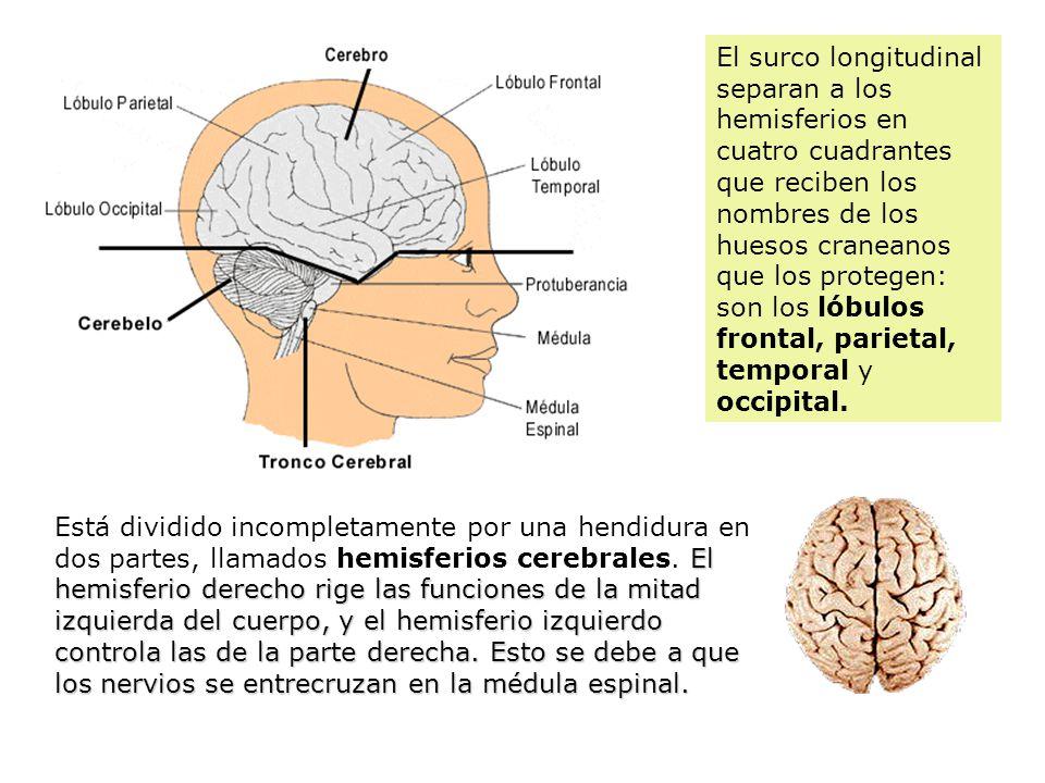 Sistema nervioso junto con el sistema hormonal o endocrino for Los nietos se separan