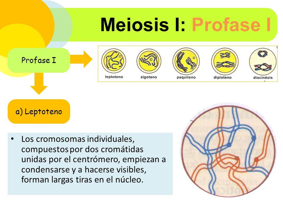 Meiosis I: Profase I Profase I. a) Leptoteno.