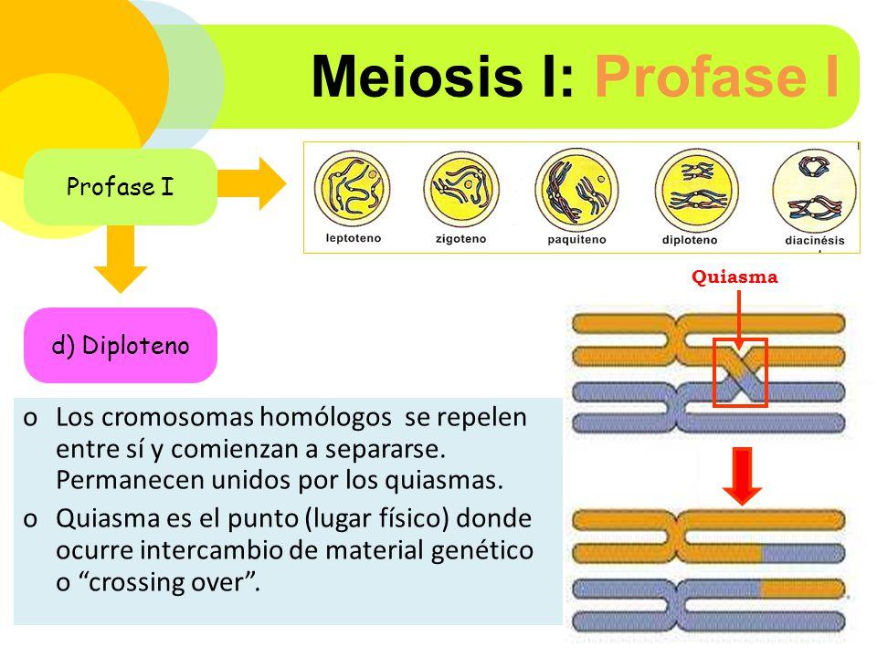 Meiosis I: Profase I Profase I. Quiasma. d) Diploteno.