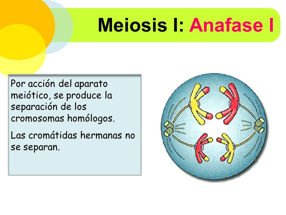 Meiosis I: Anafase I Por acción del aparato meiótico, se produce la separación de los cromosomas homólogos.