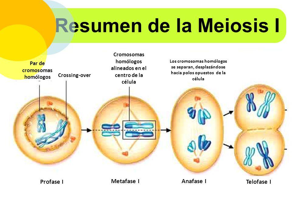 Resumen de la Meiosis I Profase I Metafase I Anafase I Telofase I