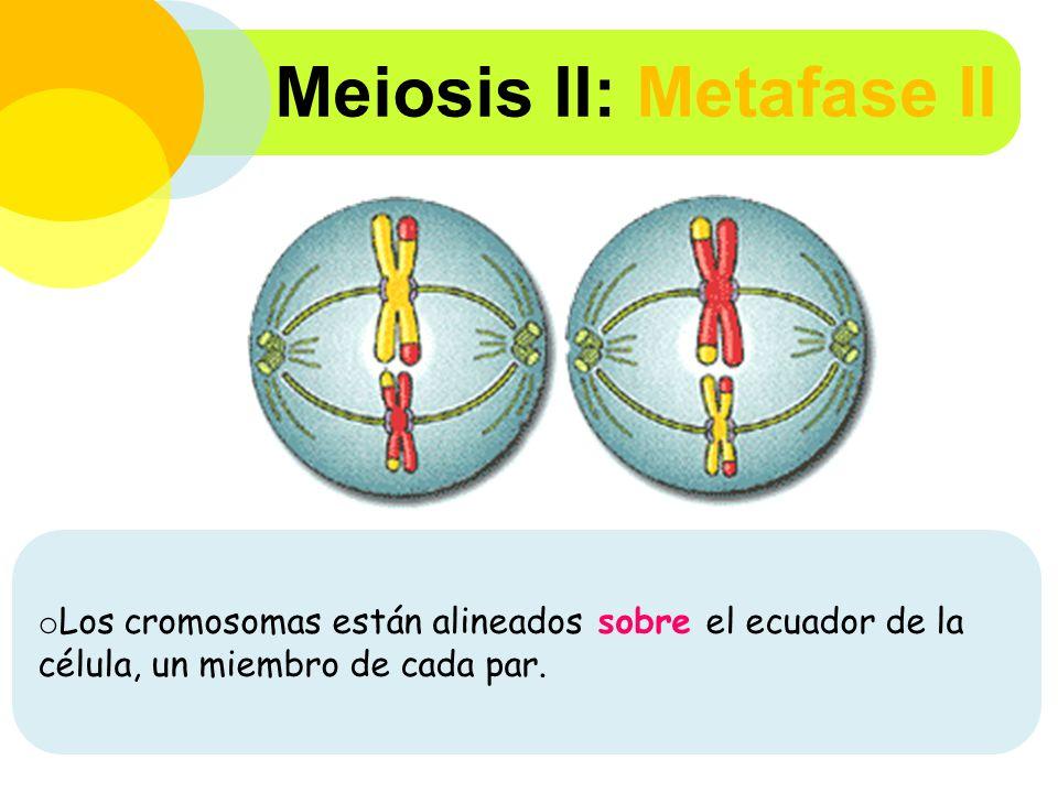 Meiosis II: Metafase II