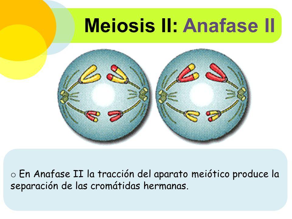 Meiosis II: Anafase II En Anafase II la tracción del aparato meiótico produce la separación de las cromátidas hermanas.