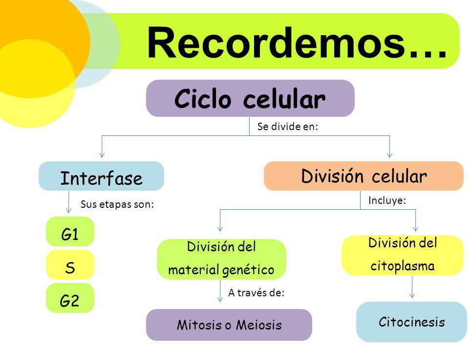 Recordemos… Ciclo celular Interfase División celular G1 S G2