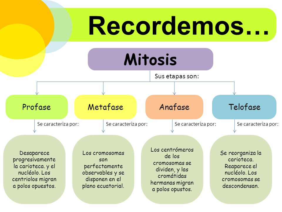 Recordemos… Mitosis Profase Metafase Anafase Telofase Sus etapas son:
