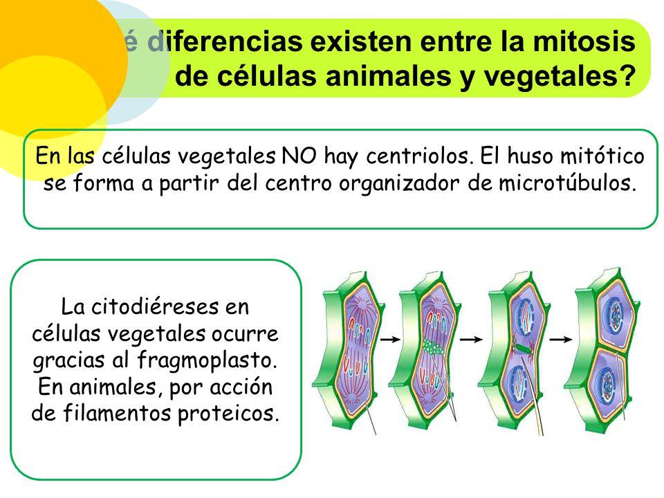 ¿Qué diferencias existen entre la mitosis de células animales y vegetales
