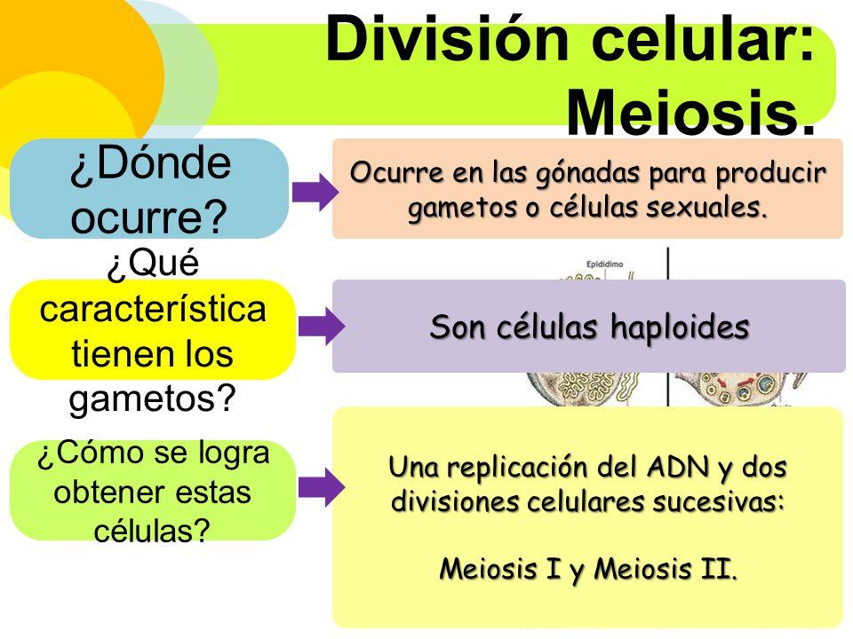 División celular: Meiosis.