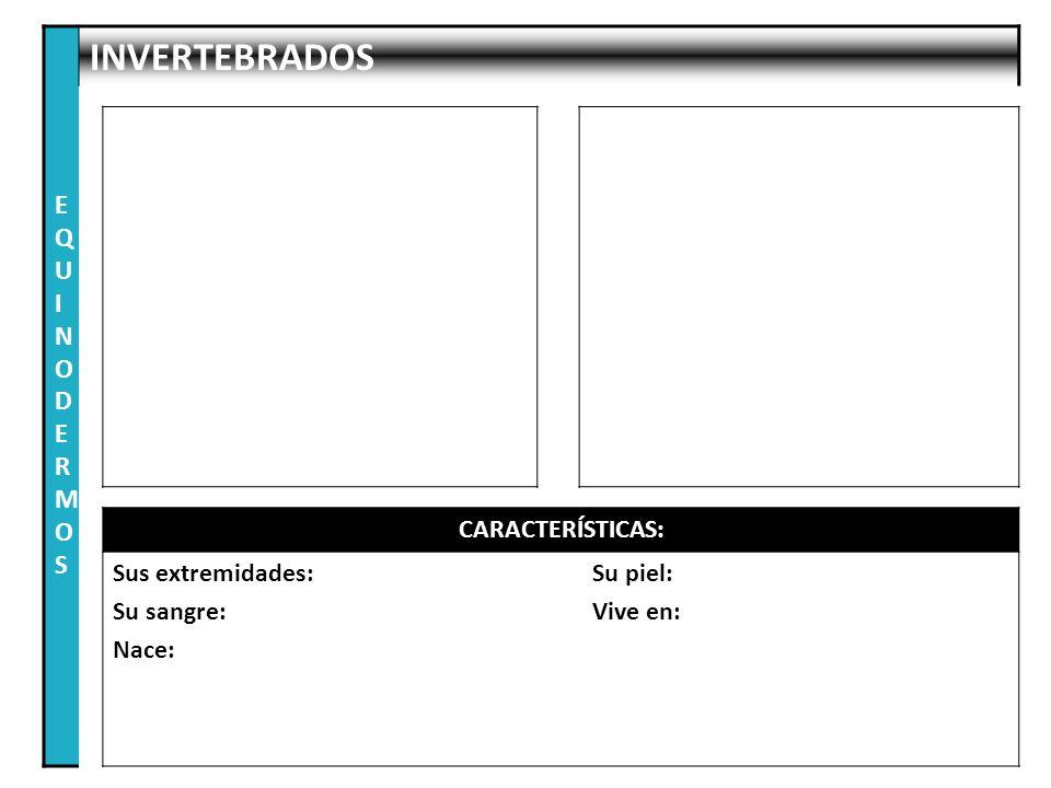 EQUINODERMOS INVERTEBRADOS CARACTERÍSTICAS: Sus extremidades:
