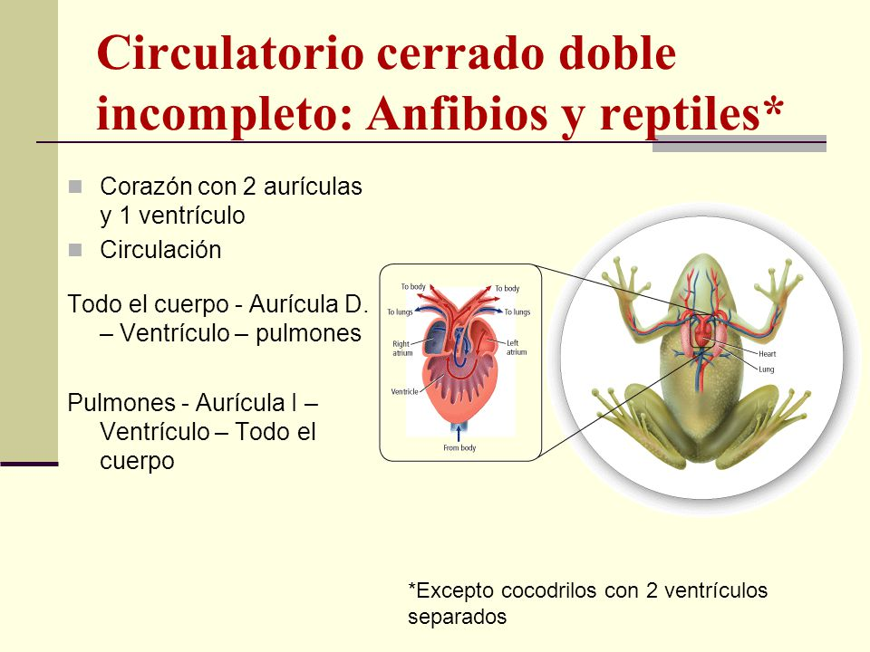 Circulatorio cerrado doble incompleto: Anfibios y reptiles*