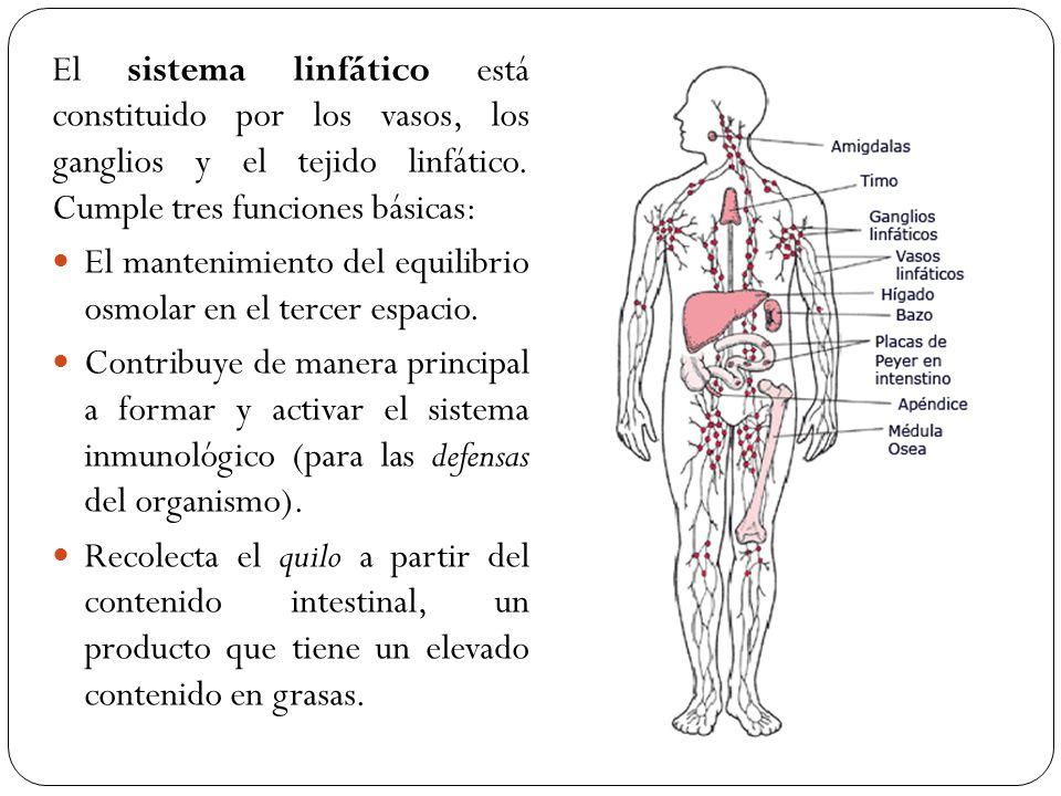 Encantador La Imagen De Los Ganglios Linfáticos Del Cuerpo Humano ...