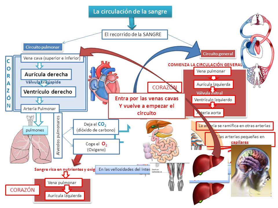 Circuito Pulmonar : La circulación de sangre ppt video online descargar