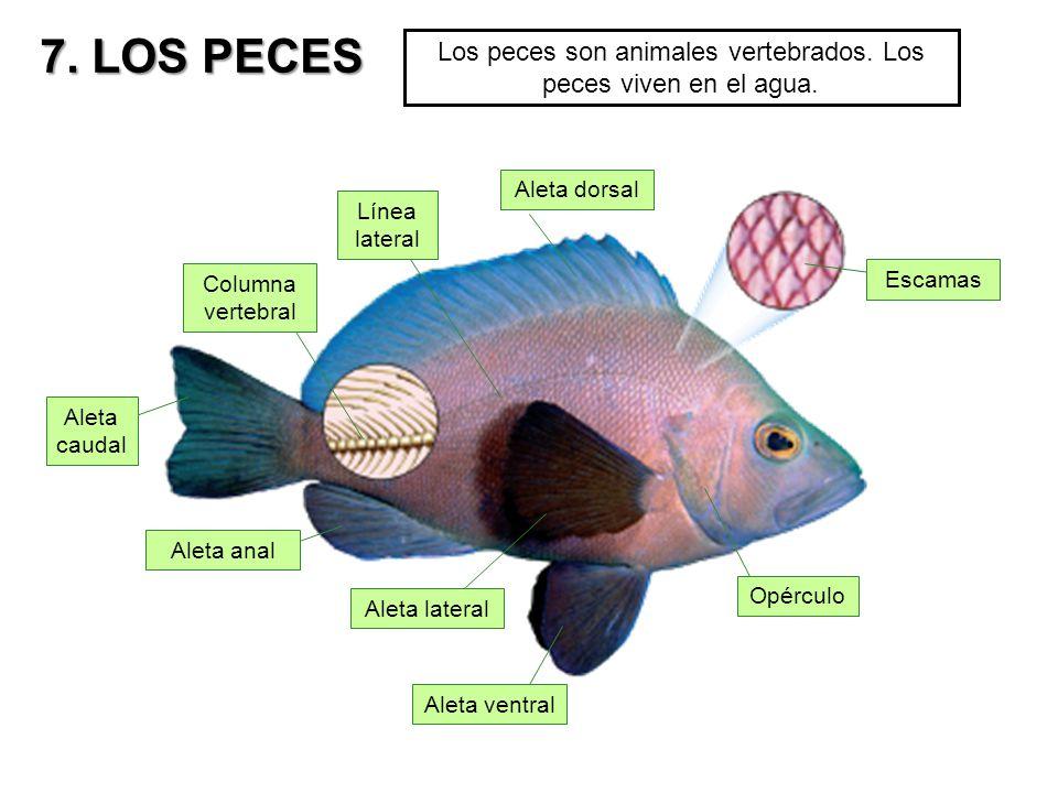 Aleta anal en los peces