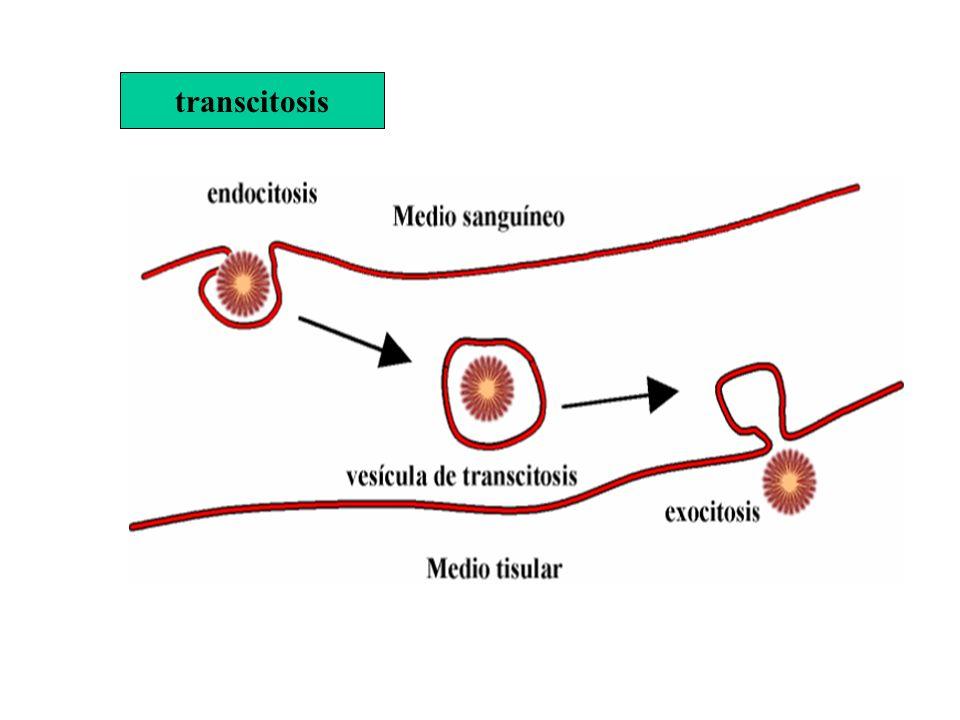 transcitosis