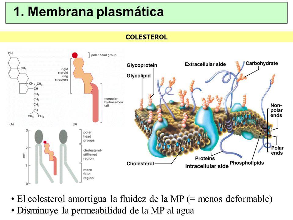 1. Membrana plasmática COLESTEROL.