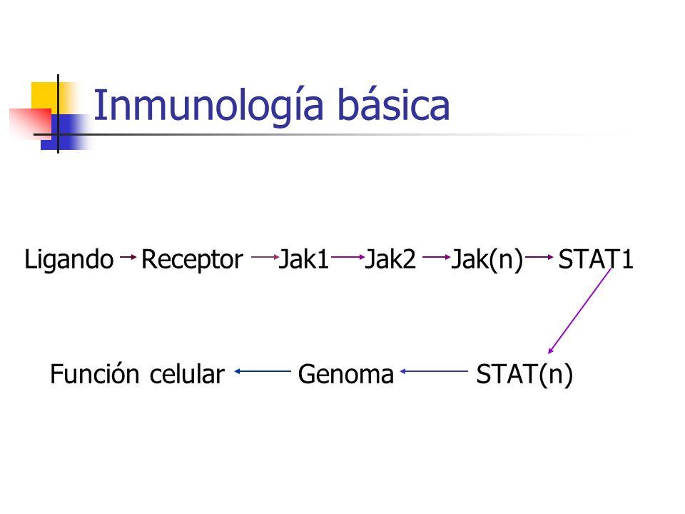 Inmunología básica Ligando Receptor Jak1 Jak2 Jak(n) STAT1