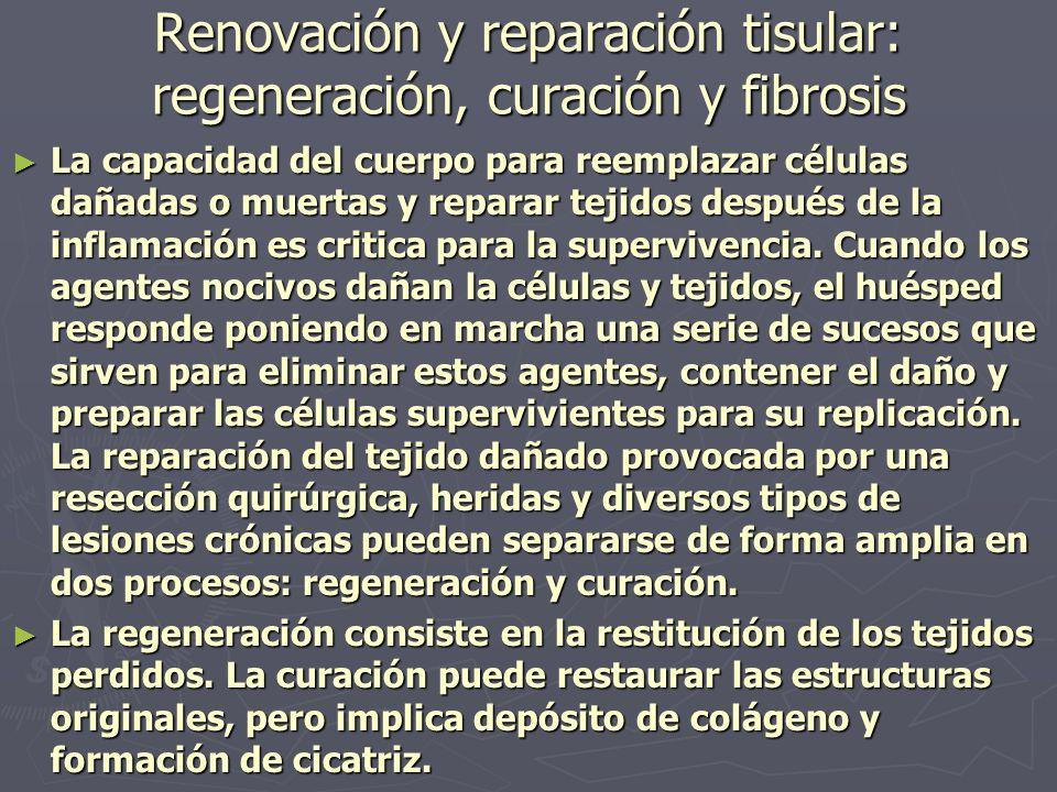Renovación y reparación tisular: regeneración, curación y fibrosis