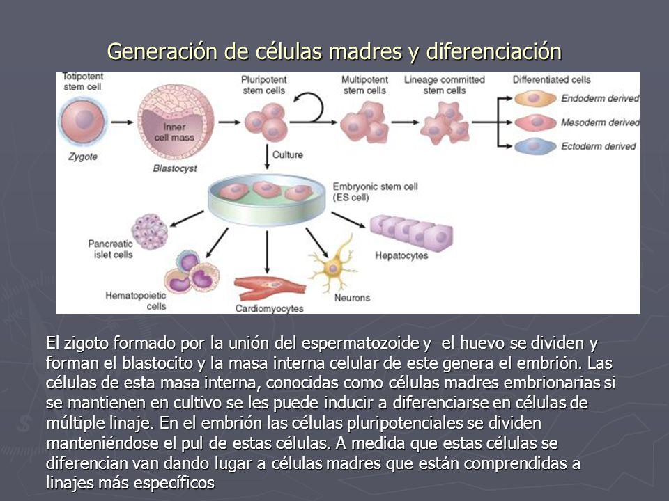 Generación de células madres y diferenciación