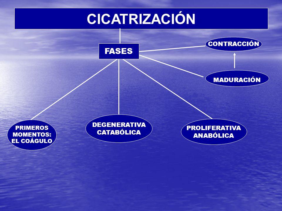 CICATRIZACIÓN FASES CONTRACCIÓN MADURACIÓN DEGENERATIVA CATABÓLICA