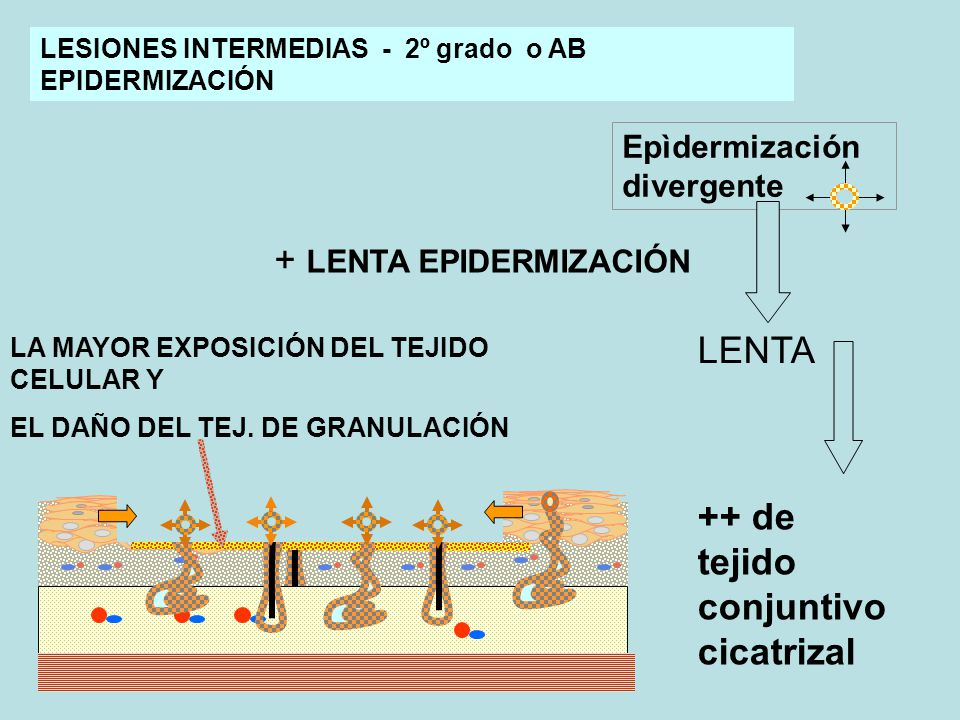 + LENTA EPIDERMIZACIÓN