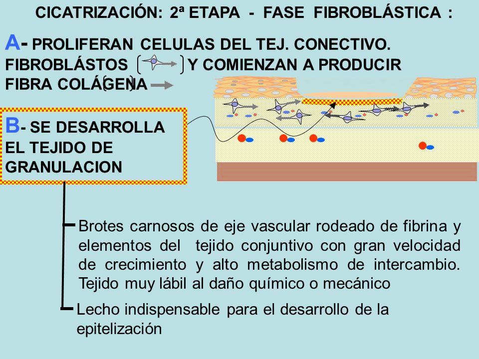 B- SE DESARROLLA EL TEJIDO DE GRANULACION