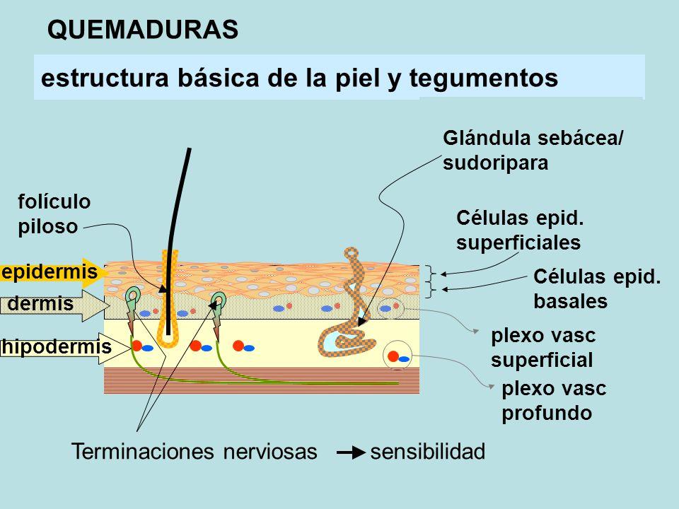estructura básica de la piel y tegumentos