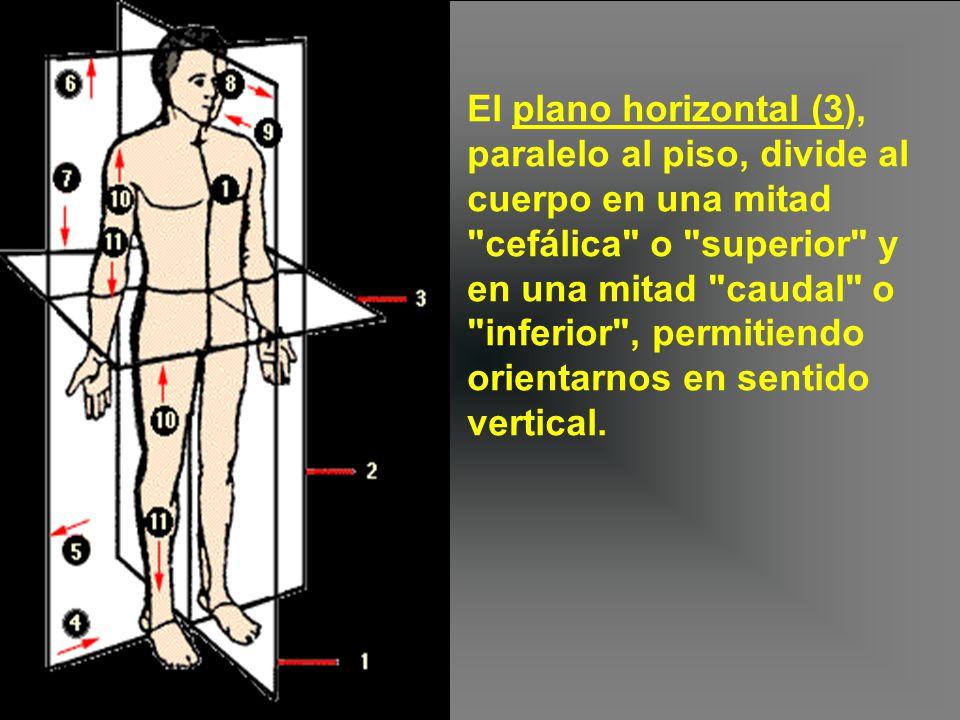 El plano horizontal (3), paralelo al piso, divide al cuerpo en una mitad cefálica o superior y en una mitad caudal o inferior , permitiendo orientarnos en sentido vertical.