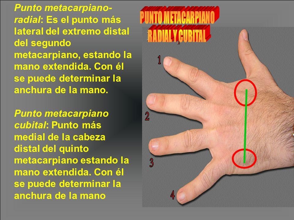 Punto metacarpiano- radial: Es el punto más lateral del extremo distal del segundo metacarpiano, estando la mano extendida. Con él se puede determinar la anchura de la mano. Punto metacarpiano cubital: Punto más medial de la cabeza distal del quinto metacarpiano estando la mano extendida. Con él se puede determinar la anchura de la mano
