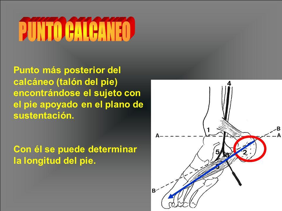 PUNTO CALCANEO Punto más posterior del calcáneo (talón del pie) encontrándose el sujeto con el pie apoyado en el plano de sustentación.