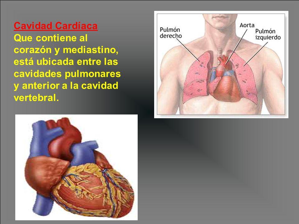 Cavidad Cardíaca Que contiene al corazón y mediastino, está ubicada entre las cavidades pulmonares y anterior a la cavidad vertebral.