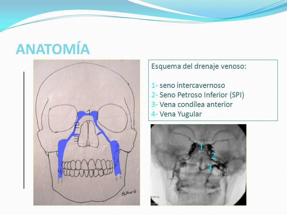 ANATOMÍA 1 2 3 Esquema del drenaje venoso: 1- seno intercavernoso