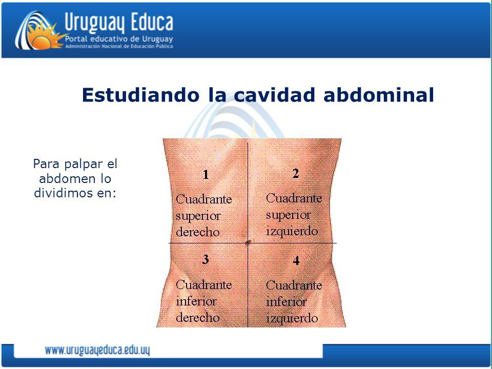 Estudiando la cavidad abdominal
