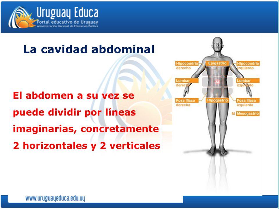 La cavidad abdominal El abdomen a su vez se puede dividir por líneas imaginarias, concretamente 2 horizontales y 2 verticales.