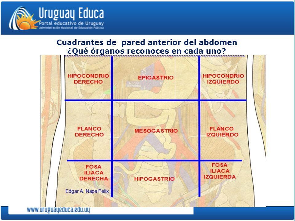 Cuadrantes de pared anterior del abdomen