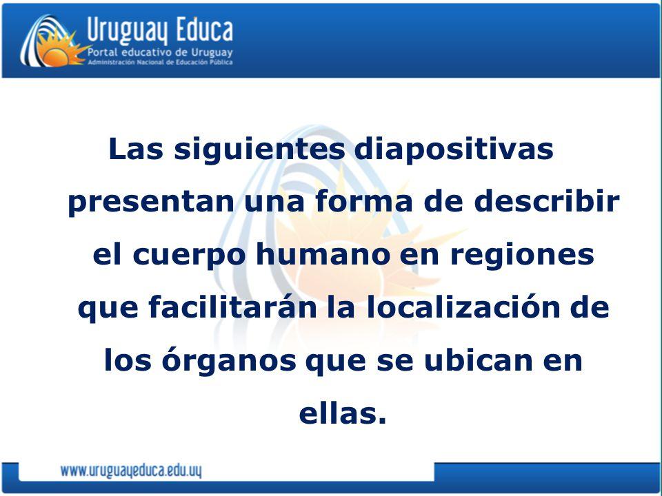 Las siguientes diapositivas presentan una forma de describir el cuerpo humano en regiones que facilitarán la localización de los órganos que se ubican en ellas.