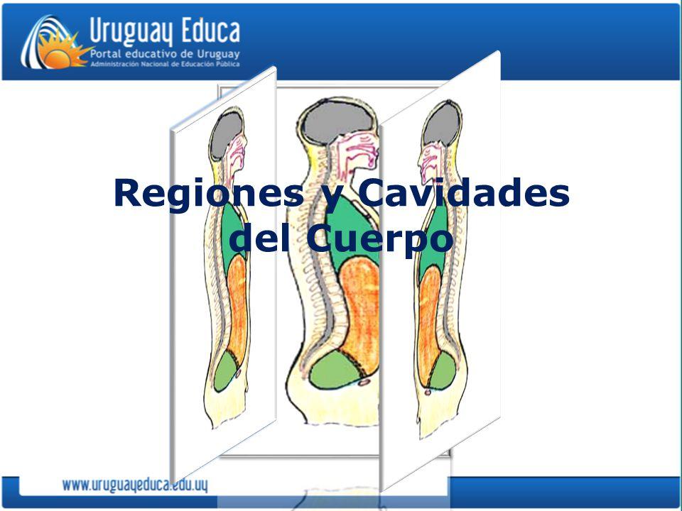 Regiones y Cavidades del Cuerpo